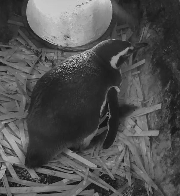 The newly hatched penguin chick sticks its little head out from under mama.