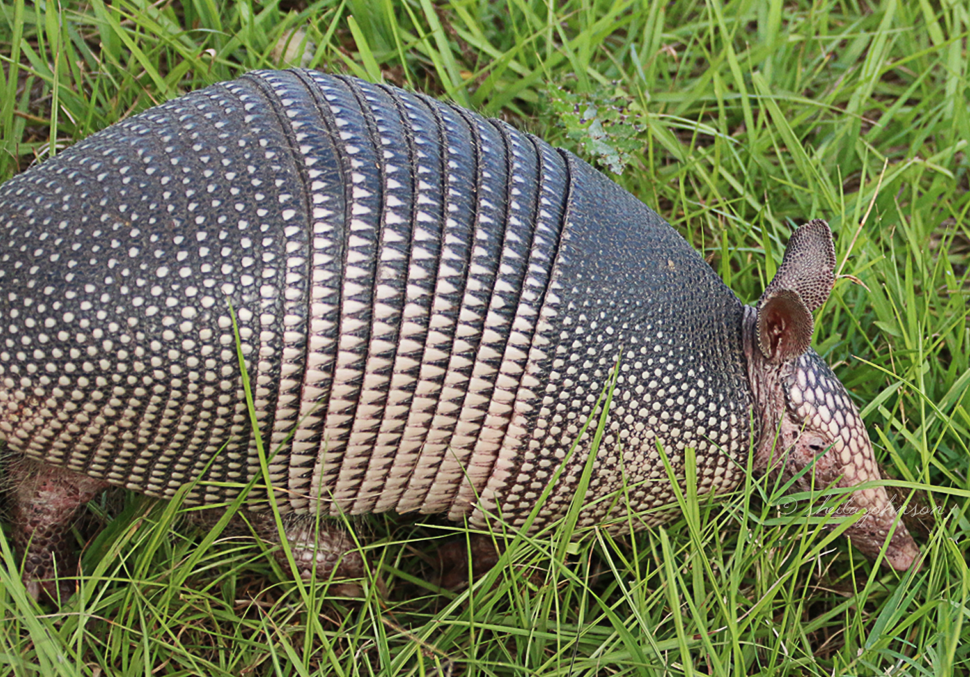 Here We Can See Why This Armadillo Species Is Dubbed The Nine-Banded Armadillo. Though The Armadillo Is Not Native To Florida, It Is Common. This One Lives At Allapattah Flats In Palm City, Florida.
