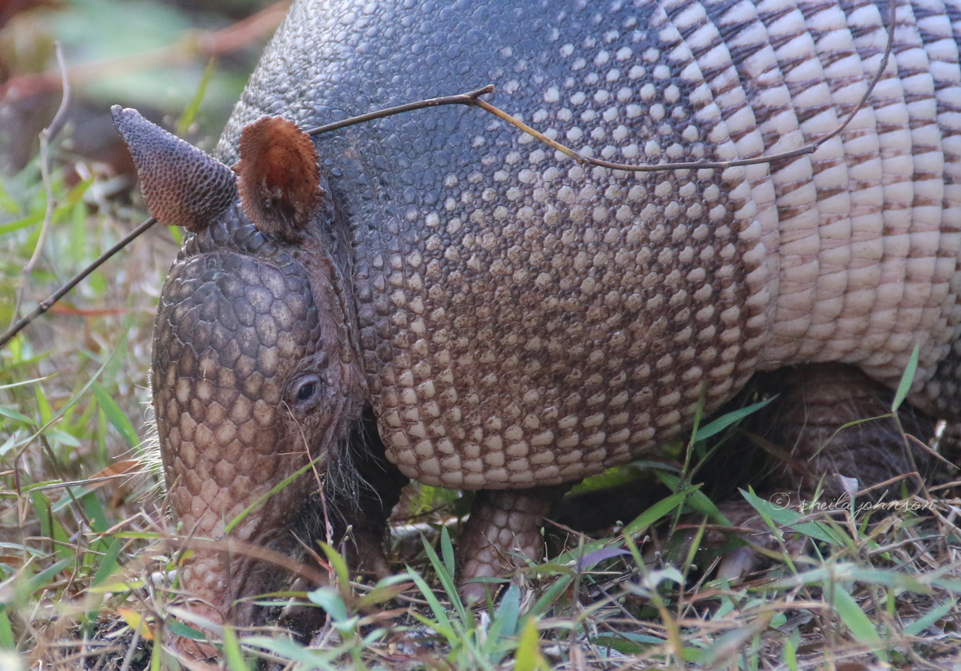 The Nine-Banded Armadillo Depends On Its Sense Of Smell To Get Around, Sense Danger, And Forage For Food, As It Has Horrible Eyesight. Its Eyesight Is So Bad, In Fact, That If You Are Very, Very Quiet (And Don't Smell Much), You Can Get As Close As A Few Feet Away, And They'll Never Know!