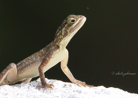 This Agama Lizard reminds me of The Thinker, regardless that the pose is different. She seems to be considering whether or not to have that little bug for a pre-dinner snack.