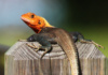 The Agama Lizard (Aka Rainbow Lizard) Is Invasive To South Florida, And, Sadly, Eats Native Anole Lizards. They Are, However, Interesting To Watch And Display The Most Amazing Coloring.