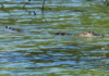 Alligators Can Be Seen (Or Maybe Not So Much) Among The Mangrove Tree Roots Along Shorelines Of Fresh And Brackish Water Bodies Throughout Florida. Caution Is Your Friend!