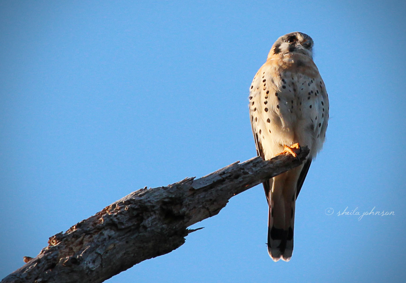 The American Kestrel Is The Smallest Falcon In North America. So Small, In Fact, That It's Easily Mistaken For Anything But A Falcon, When Spied High Atop A Naked Tree Branch Or Light Pole.