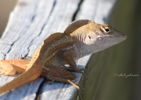 A handsome Cuban Brown Anole Lizard gives a sly sideways glance. Not sure if he's flirting or sizing me up -- or both!