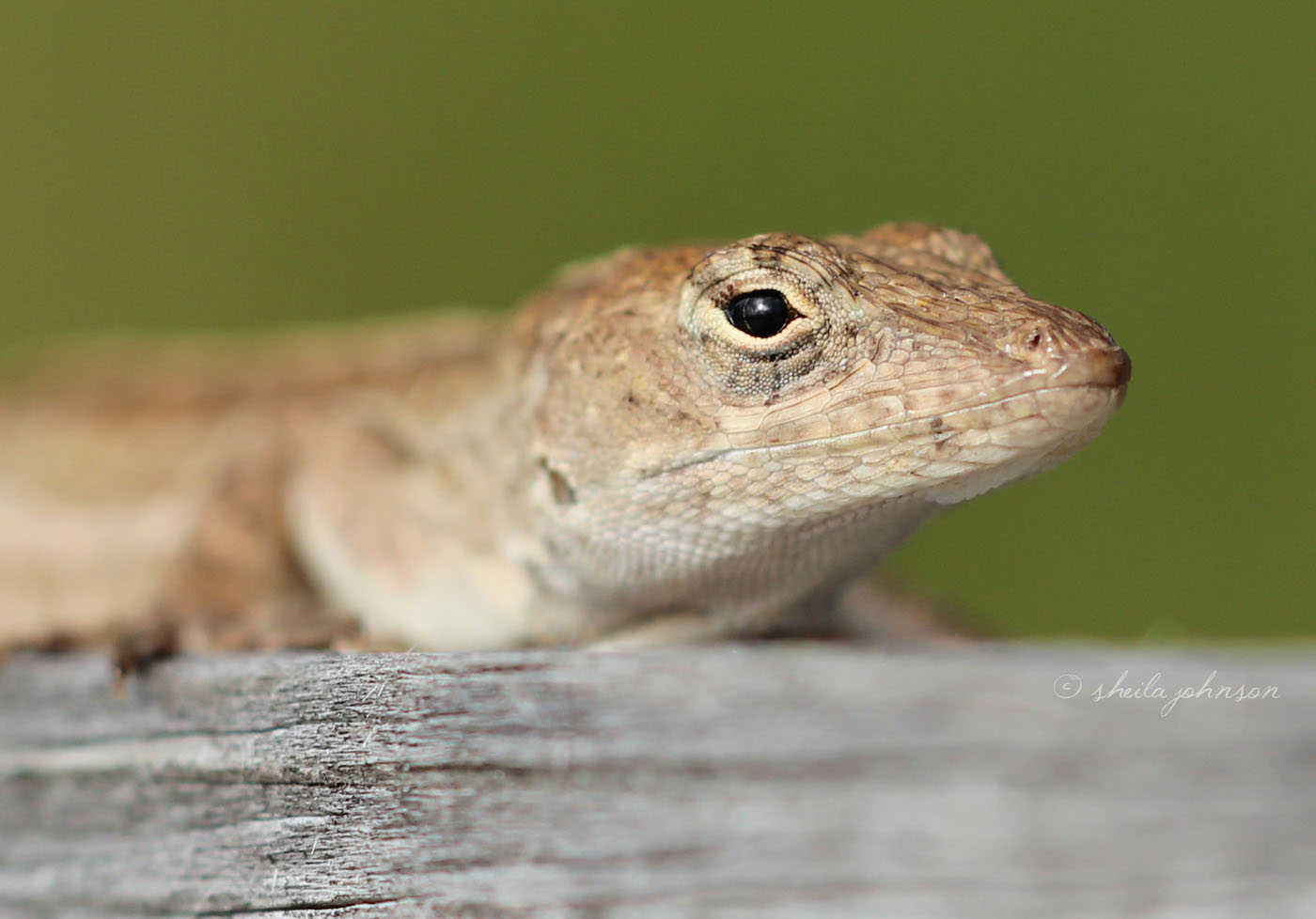 The Brown Anole lizard, native to Cuba and the Bahamas, was introduced to the United States in 1970s. We often confuse it with the native species, the green Carolina Anole, which can change color to brown. The most distinctive difference is that the Brown Anole is patterned and the Carolina is not.