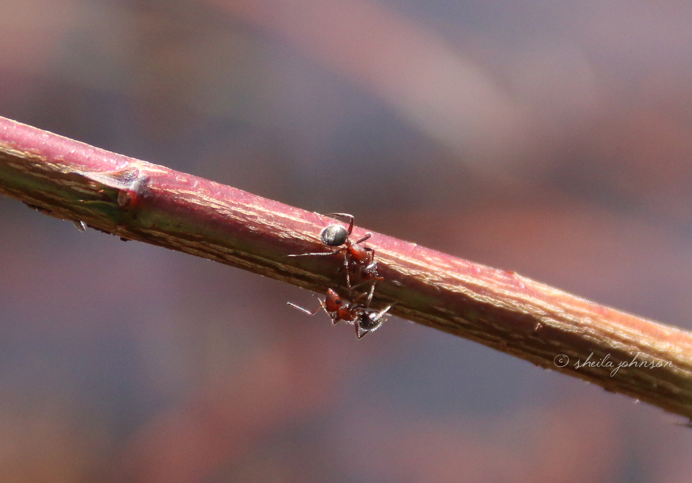 A Meeting Between Two Florida Fire Ants Takes Place In The Middle Of A Twig.