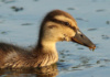 A Super-Cute Duckling Takes A Swim In The Gunpowder River, Joppa, Maryland. I Recently Learned That Ducklings Can Be Self-Sufficient From The Day They Hatch.
