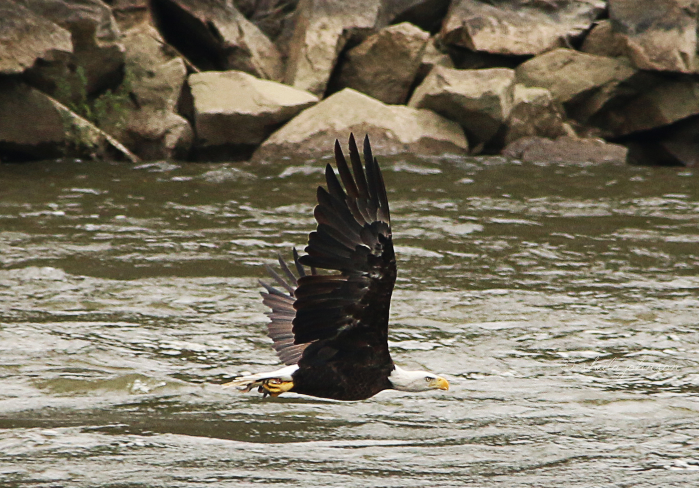 This Bald Eagle Is Looking Pretty Fierce, Though His Catch Of The Day Is Awfully Tiny. I Guess Just Being An Eagle Is Reason Enough To Put Your Fierce Face On.