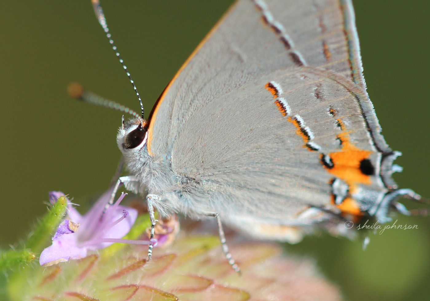In The Heat Of The Florida Summer At Allapattah Flats In Palm City, Florida, You Can Find The Bartram's Scrub Hairstreak Butterfly Flitting About Among The Wildflowers, As Well As Many Other Butterfly Species. There Are Few Ways As Fabulous As This To Play Hookie!