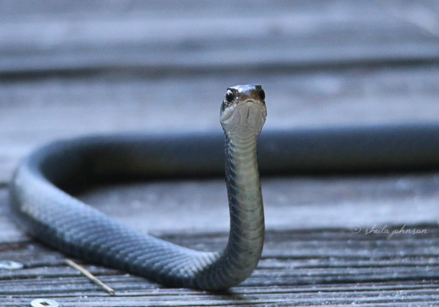 This tiny Black Snake thinks he's a big shot. He's blocking the way to the boardwalk, until I take just one step forward.