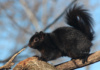 A Black Squirrel Treads Cautiously On A Branch. Black Squirrels Are A Melanistic Subgroup Of The Gray Squirrel, And, In The United States, Are Common In The Northeast And Midwest.