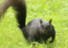 This Little Black Squirrel Is So Darned Chipper, And That Wiry Whisker In The Wind Adds To His Charm. Black Squirrels Are A Melanistic Variation Of The The More Common Gray Squirrel.