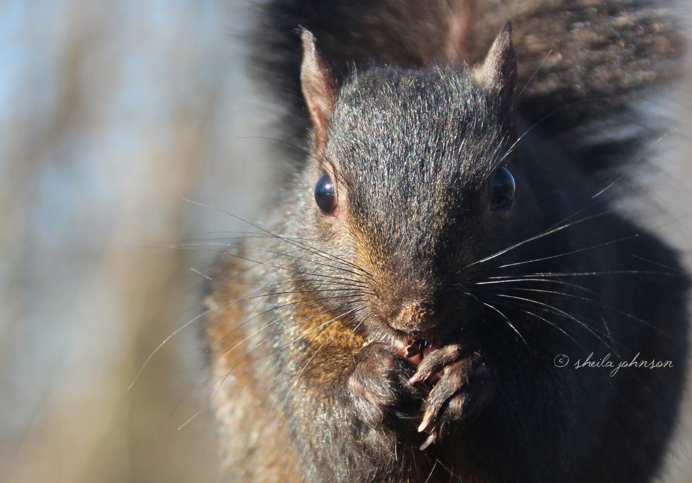 Though The Sunlight Makes Him Look Like A Typical Gray Squirrel, This Is A Black Squirrel (A Melanistic Subgroup Of The Gray). In The United States, They're Common In The Northeast And Midwest.