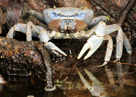 This Blue Crab appears to be sitting on his own personal throne. Sitting apart from the other crabs, perhaps he is. That faux fu manchu sorta completes the look!