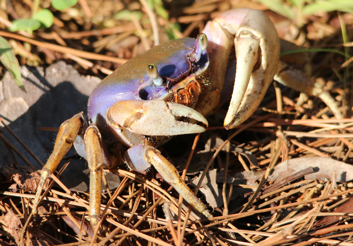 Some Septembers, Us Floridians Living Near The St. Lucie River Will Find Hundreds Of These Land Crabs Migrating To The River To Breed. It's A Troublesome Time For Us Humans Who Attempt To Navigate Between Them. But Can You Imagine Being One Of Them Navigating Between Us?