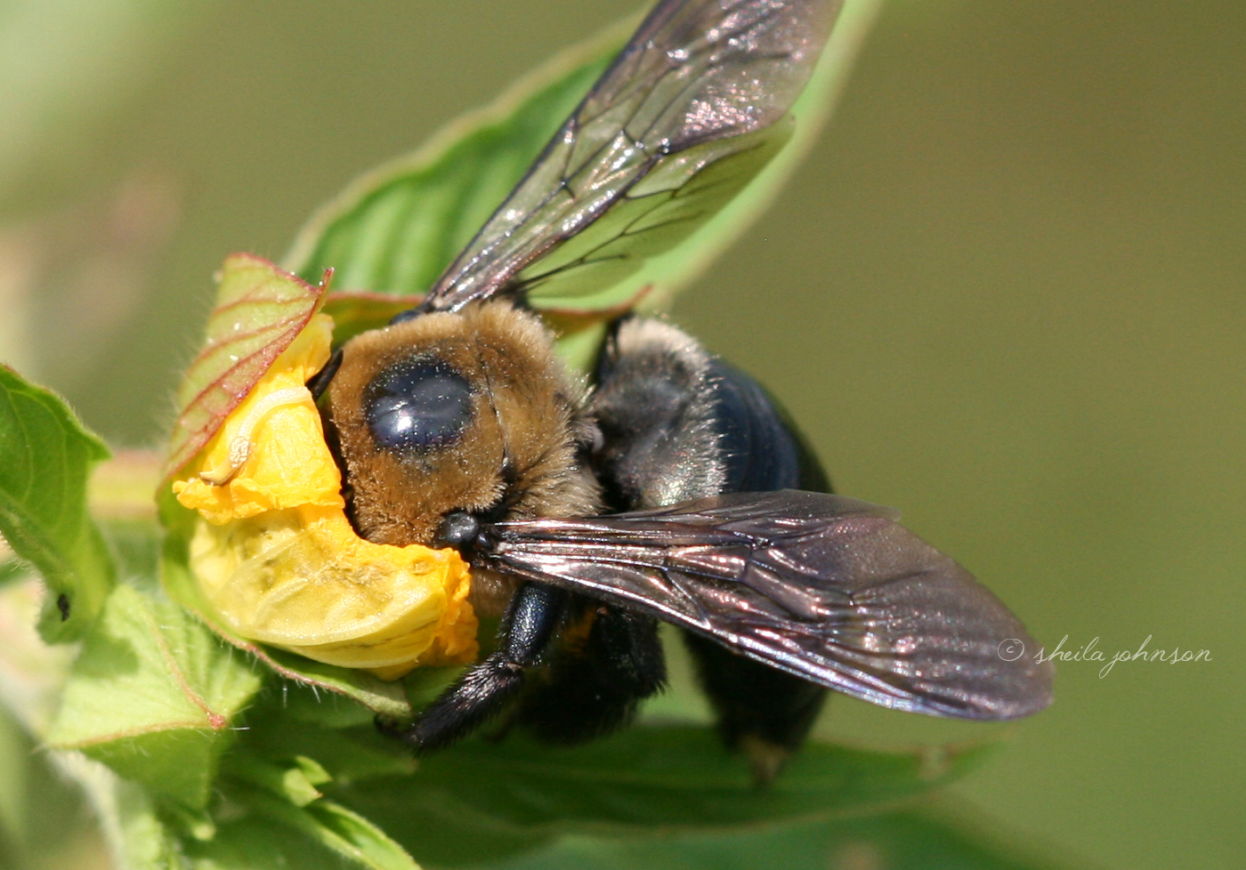 With His Head Buried Deeply Into A Yellow Wildflower, This Bumble Bee Takes His Work Seriously.