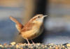 Some Will Tell You The Carolina Wren Is A Shy Little Bird. That Has Not Been Our Experience. They Are Common And Friendly At Mariner Point Park In Joppa, Maryland.