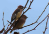 If You've Ever Seen A Flock Of Birds Dive In And Out Of Trees Repeatedly, There's A Likelihood That They Were Cedar Waxwings. While They Appear All Black Or Gray At That Quick Glance, They Are Actually Beautifully Colored. We've Got A Little Haloing In This Image, But We Sort Of Like The Cool Watercolor-Painting Look Caused By The Lighting Conditions.