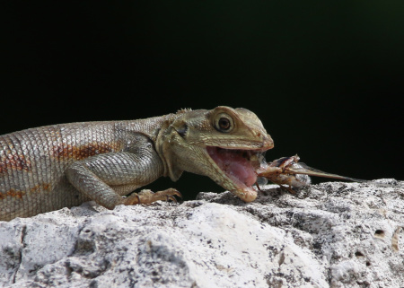 It's a rare thing to see the Agama Lizard family at Kiplinger Preserve, Stuart, Florida feasting. Of all things, to see this one feasting on a Cicada surely must be even more rare!