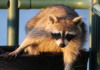 Not 'committed' As In Psych Ward; 'committed' As In Doing Whatever It Takes To Get The Job Done. This Florida Raccoon Puts The 'dive' In 'dumpster Diving'!