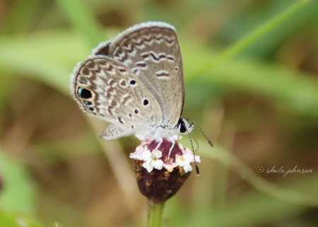 Look as we may, we see nothing 'common' about the Common Cerulean Butterfly. Take note of the heart spots on its wing -- another example of 'hearts in nature.'' Here, this one sits upon a wildflower, looking like a wildflower itself.