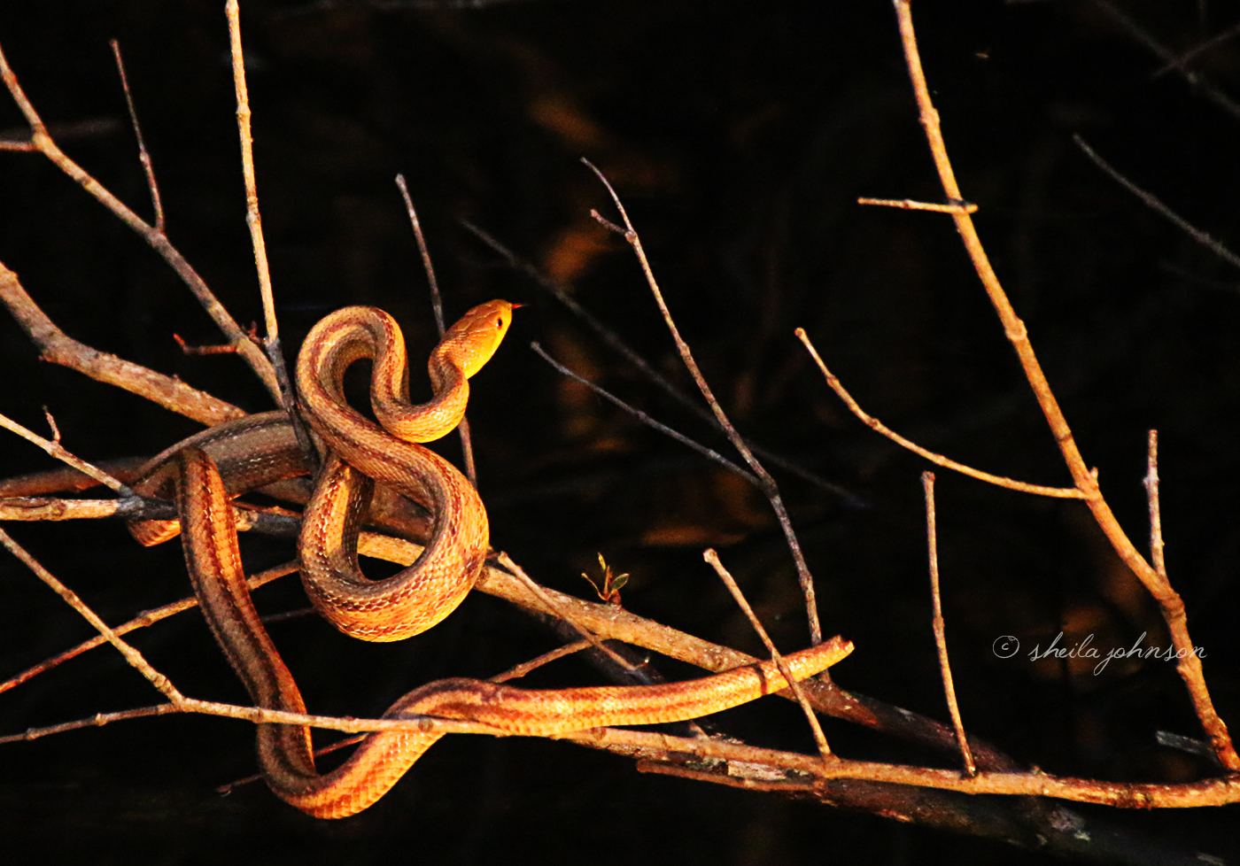 This Corn Snake Was Eager To Get A Taste Of A Little Mouse Who Had Made Her Home In A Nearby Branch. The Little Mouse Was, However, Protecting Her Babies, And Defending Her Little Nest Like A Bear. She Actually Bit The Snake, And It Went Slithering Away.