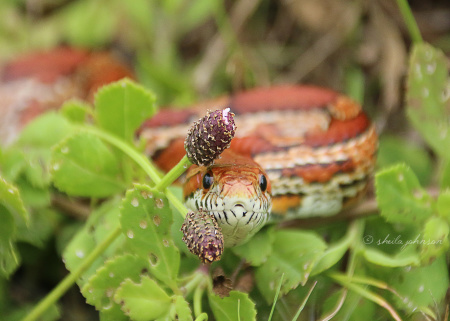 Corn Snakes don't tend to be defensive nor do they tend to stick around when any intruder is near. This one opted out of the Corn Snake Book of Rules, and defended this space with the attitude of a Cobra! Even knowing it's harmless, its lunge shook me up.