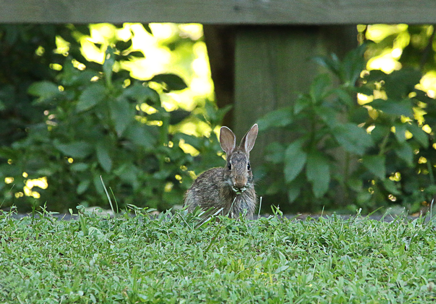 A Little Eastern Cottontail Pretends He's A Statue In Between Bites At Mariner Point Park In Joppa, Maryland.