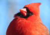 A Male Northern Cardinal Cocks His Head, As Though Thinking, 'what Shall We Do This Day?'