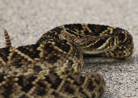There are times we are thankful for 300mm lenses. This is one such time. Our first good look at a Diamondback Rattlesnake.
