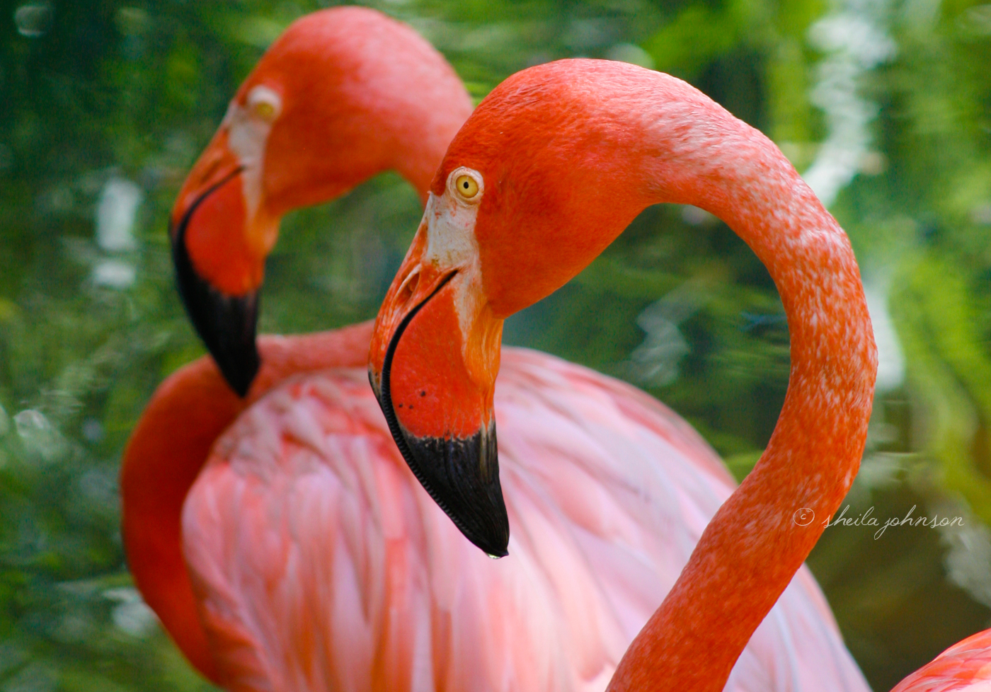 The Only Thing Pinker Than One Pink Flamingo? Two Pink Flamingos! This Photo Opportunity Was Given Me By The Palm Beach Zoo, A Favorite Stomping Ground.
