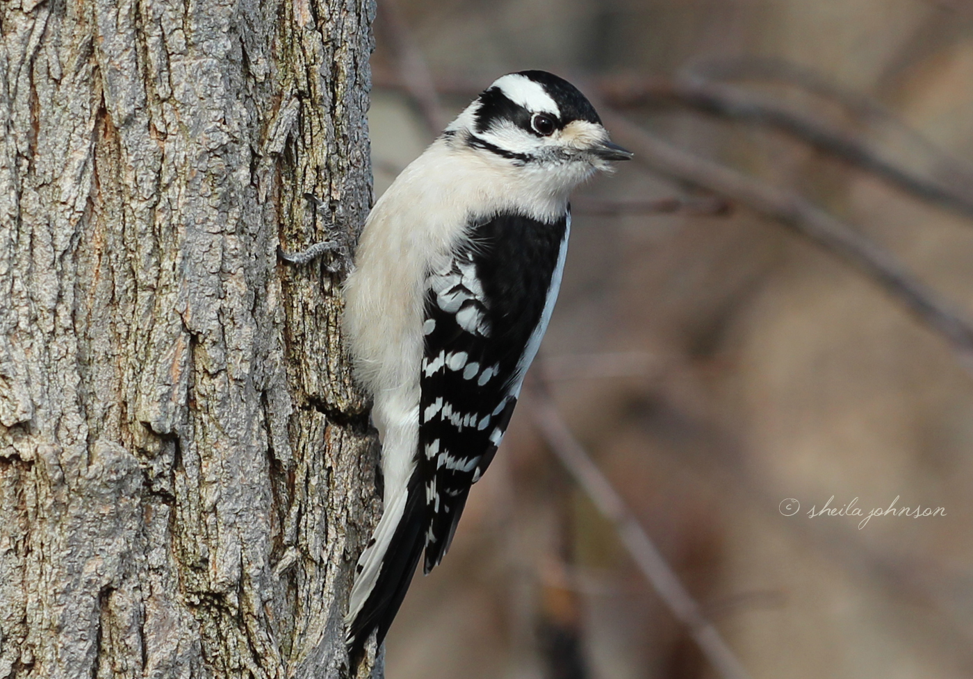 This Female Downy Woodpecker Seems To Be Following Me. I'm Happy To Let Her. The Downy Woodpecker Is The Smallest Woodpecker In North America.