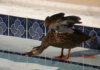 It May Be Highly Unsanitary To Permit Ducks To Swim In Your Pool, But It Sure Is Fun To Watch! This Mallard Is Ready To Dive (And Apparently Doesn't See The 'no Diving' Sign).