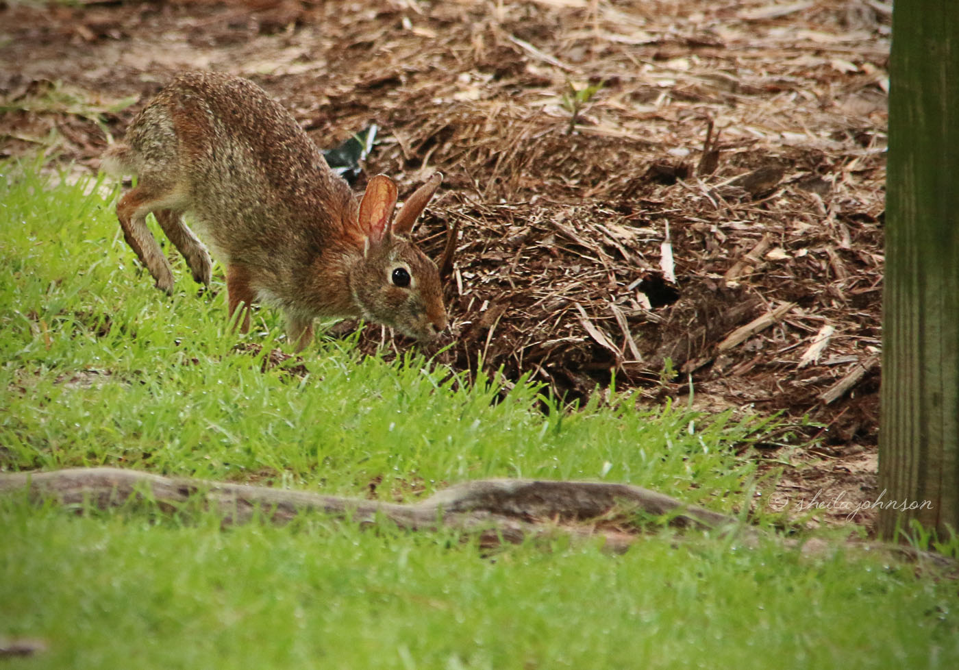 I've Seen Only Two Reactions From An Eastern Cottontail Spying Me With My Camera -- Freeze And Run. That Means I Either Snap A Rabbit Sitting Completely Still Or The Dirt Kicked Up In The Air Which Is Left Behind. This One Opted For 'run,' And I Managed To Click Quickly Enough.