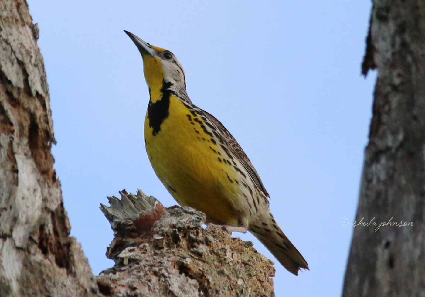 This Yellow Meadowlark Is Visiting A Red-Bellied Woodpecker's Nesting Tree. He Won't Last Long Here -- Papa Woodpecker Doesn't Take Kindly To Visitors, While His Wife Is Sitting On Her Egglets.