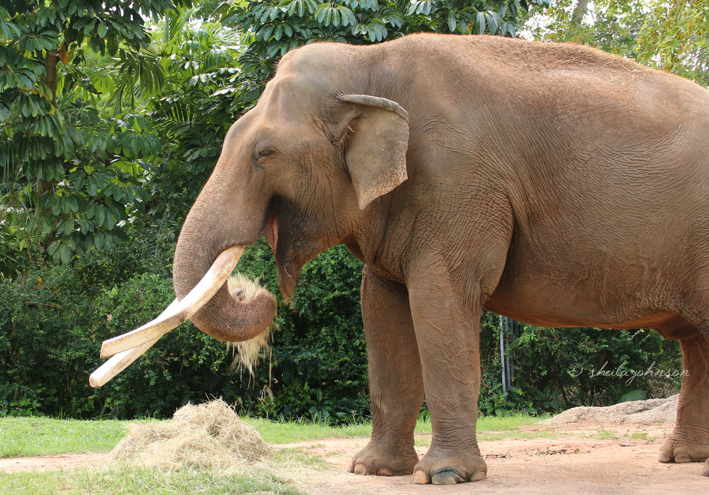 This Is Dalip, The Male Asian Elephant Who Lives At Zoo Miami. How Can We Tell He's An Asian Elephant And Not An African Elephant? The Easiest, First-Glance Way To Tell Is That The Asian Elephant Has Much Smaller Ears Than Its African Counterpart.