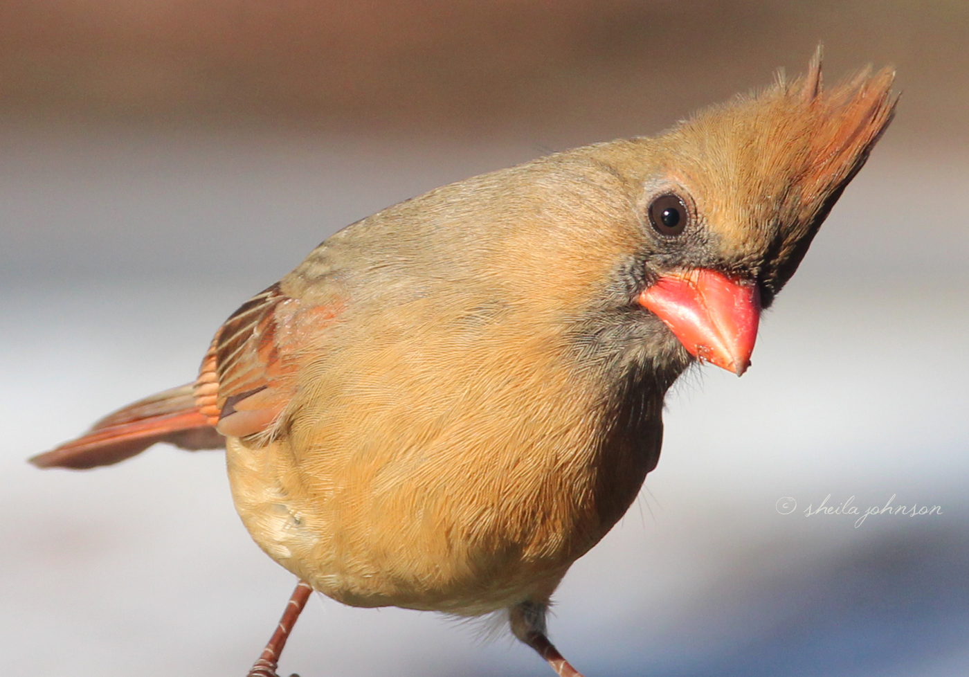 This Female Northern Cardinal Seems To Be Wanting Food. Sorry, Girlie, I've Only Got Clicks!