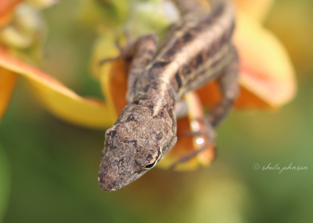 A Brown Anole lizard makes his bed in a yellow-orange wildflower. Often confused with the native Carolina Anole, the Brown Anole is actually native only to Cuba and the Bahamas.