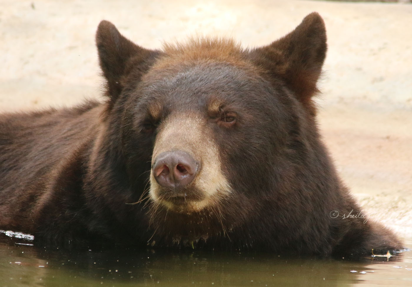 Despite Their Name, The North American Black Bear Is Not Always Black. This One Lives At Zoo Miami, And I'm Going To Guess His Reddish Highlights Are The Result Of Time Spent In The Florida Sun.