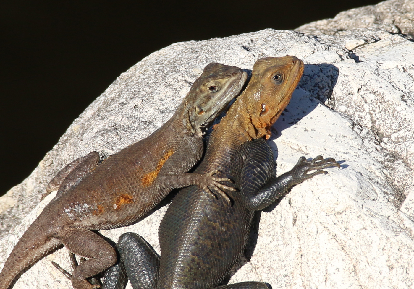I Thought They Were Being Friendly, But A Friend Tells Me Cold-Blooded Creatures Like These Agama Lizards Steal Heat From Their 'friends' By Cuddling Close.
