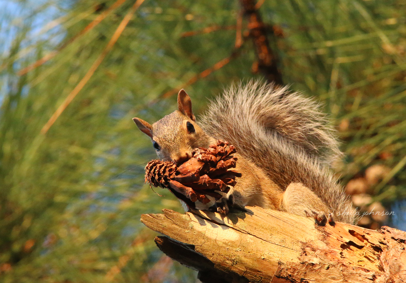 A Frisky Squirrel Dares Anyone To Take His Pine Cone. 'i Has Pine Cone. You Has None.'