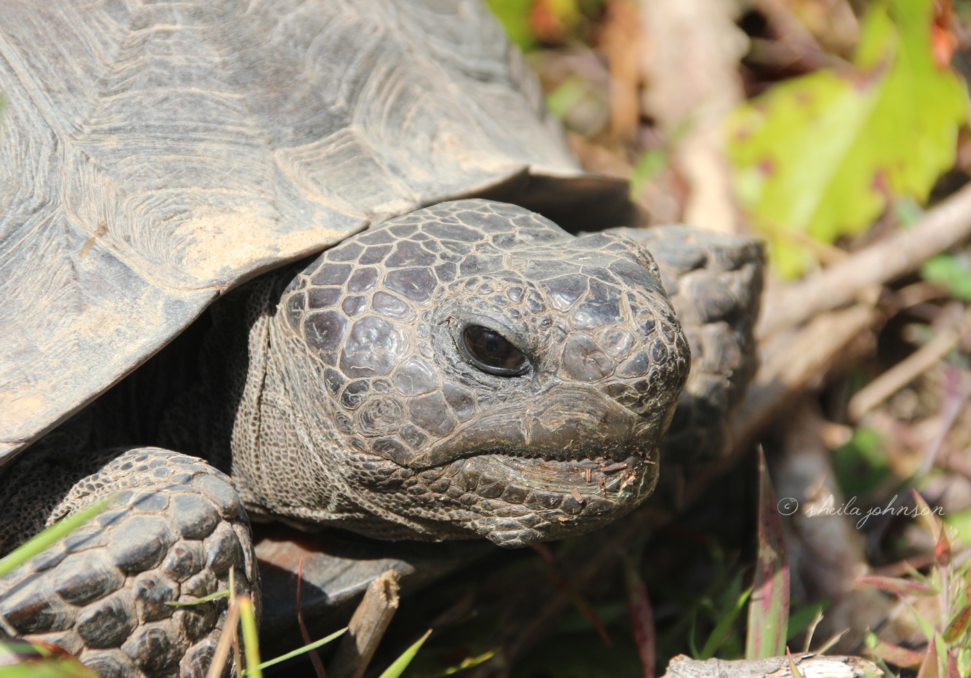 In The Wild, It's Estimated That Gopher Tortoises Live Up To 60 Years. In Captivity, They've Lived To Be 100 Years Old. This One Lives At Halpatioke Regional Park, Stuart, Florida.