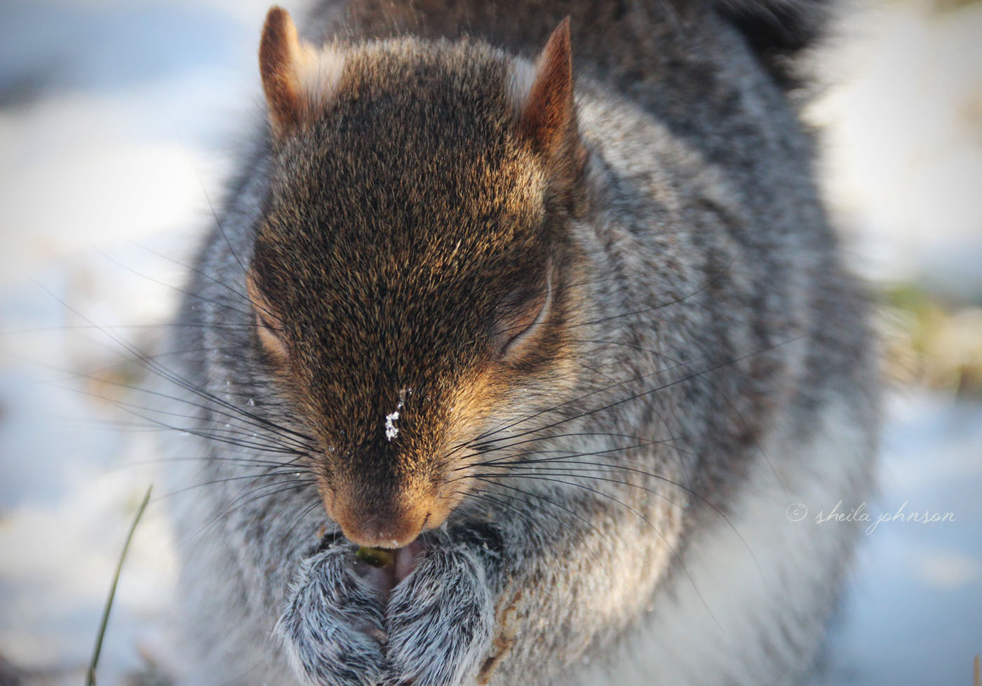 This Gray Squirrel Seems To Be Praying In The Snow. If He Is, There's No Doubt In My Mind That's He's Praying For Nuts!
