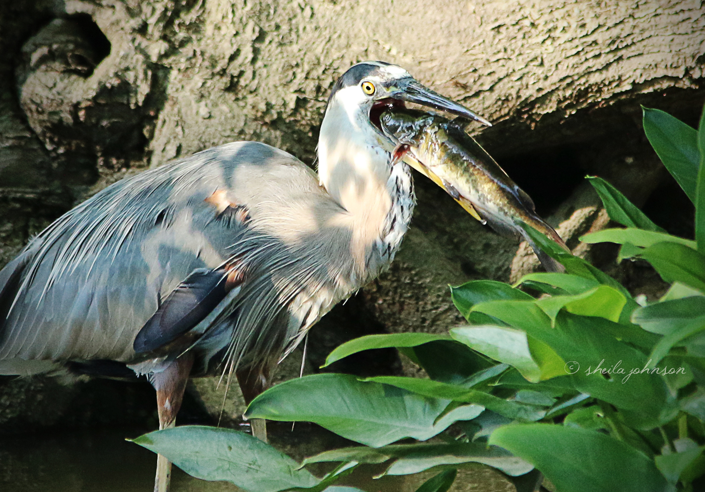 I Wasn't So Surprised This Great Blue Heron Caught Such A Big Fish. I Was Very Surprised To See An Attempt To Swallow It Whole! I'm Always Amazed At The Size Of Fish Eaten Compared To The Size Of The Bird Doing The Eating.