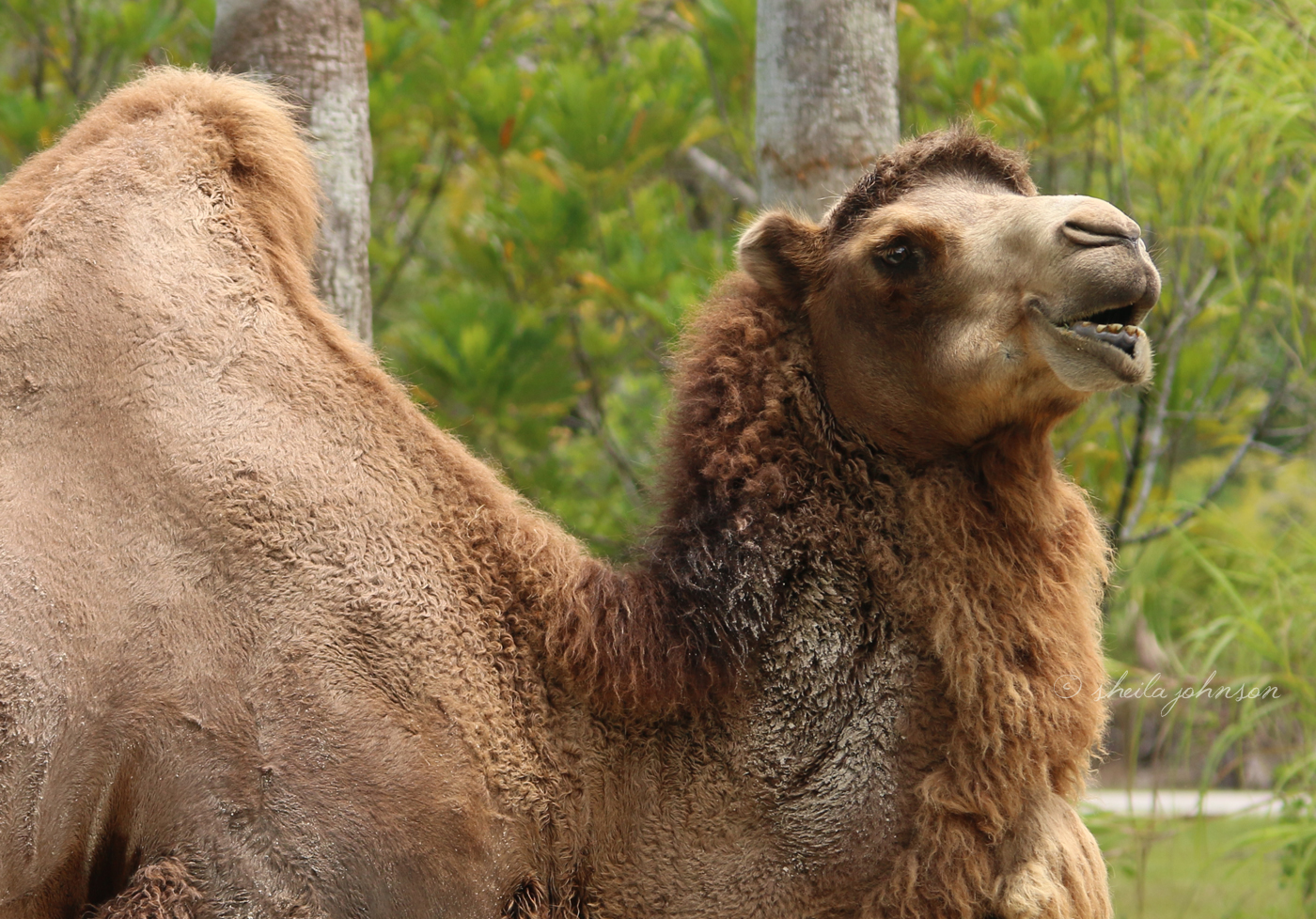 This Bactrian Camel has two humps, though you can only see one in the photo, which store fat. The camel metabolizes that fat after long periods without food. Someone told me way to remember which camel is which: Dromedary starts with D and they have one hump; Bactrian starts with B and they have two humps. You're welcome.