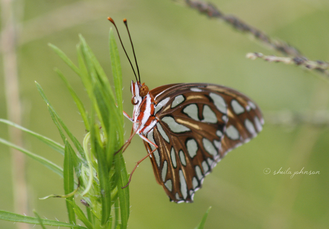 This Beauty Is Probably Our Favorite Butterfly! Though Named The Gulf Fritillary Butterfly, It's A Common (And Welcomed) Sight On The Atlantic Coast Of Florida, As Well.