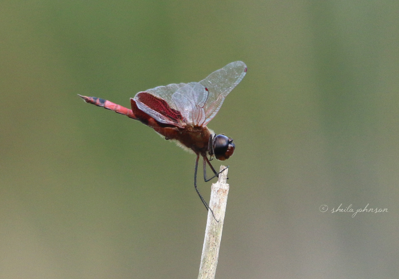This Roseate Skimmer Red Dragonfly Knows To Hang On Loosely, But Don't Let Go, Just Like 38 Special!