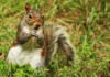 On A Grassy Knoll, This Squirrel Finds The Brass Ring Of Treats -- A Nut -- And Shows It Off For The Camera!