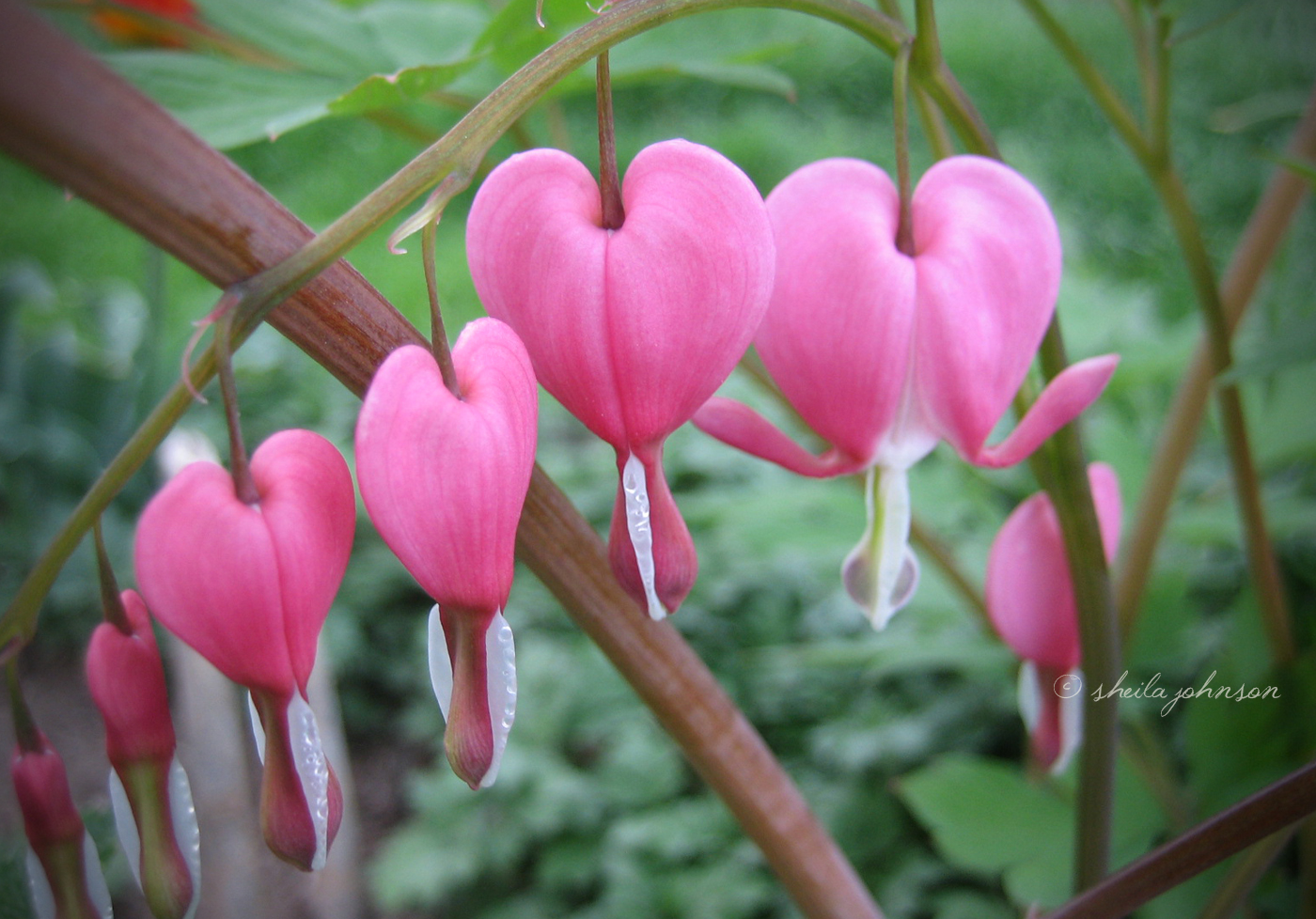Who'd Think That A Flower Named 'bleeding Hearts' Could Be So Beautiful?