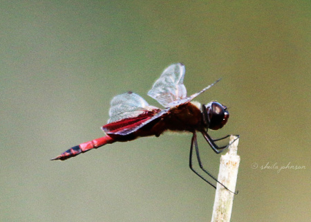 At every angle, this Roseate Skimmer Dragonfly shows us its heart. And we are happy to capture it!